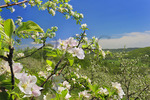 Dickie Brothers Apple Orchard at Massies Mill, Nelson County, Virginia, USA