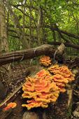 Fungus on tree, HawksbillTrail, Shenandoah National Park, Virginia, USA