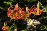 Swallowtail Butterfly on Turk Cap Lilly, Near Bear Fence Mountain, Shenandoah National Park, Virginia, USA