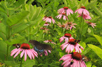 Swallowtail, Butterfly and Cone Flowers, Shenandoah National Park, Virginia, USA