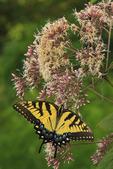Swallowtail Butterfly on Joe Pye Weed, Near Stony Man Mountain, Shenandoah National Park, Virginia, USA