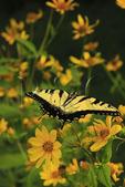 Swallowtail Butterfly on Sunflower, Near Stony Man Mountain, Shenandoah National Park, Virginia, USA