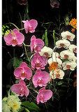 Orchids, Longwood Gardens, Kennett Square, Pennsylvania