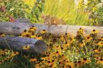Red Squirrel, Childrens Garden, Coastal Maine Botanical Gardens, Boothbay, Maine, USA