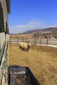 Sheep, Duffs Sugar House, Meadowdale, Virginia, USA