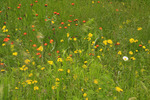 Wildflowers, Ship Harbor Trail, Acadia National Park, Maine, USA