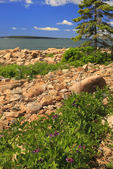 Beach Pea, Ship Harbor Trail, Acadia National Park, Maine, USA