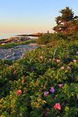 Wild Roses, Blueberry Hill, Schoodic Peninsula, Acadia National Park, Maine, USA