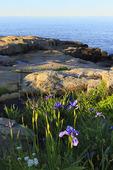 Wild Iris, Schoodic Point, Schoodic Peninsula, Acadia National Park, Maine, USA