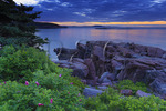 Wild Roses at Sunrise Near Thunder Hole, The Ocean Trail, Acadia National Park, Maine, USA