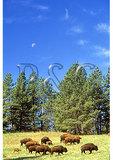 Buffalo and Moon, Custer State Park, Rapid City, South Dakota