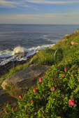 Wild Roses, Pemaquid Point, Lighthouse, Pemaquid Lighthouse Park, New Harbor, Maine, USA