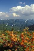 Flame Azalea bloom on Roan Mountain, near Carvers Gap, on Appalachian Trail, North Carolina / Tennessee