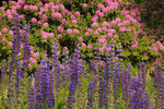 Lupine and Rhododendron, Stonington, Maine, USA