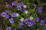 Chickweed and Longspurred Violet, Chestnut Top Trail, Great Smoky Mountains National Park, Tennessee, USA