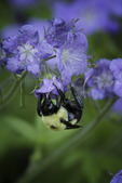 Bumble Bee on Purple Phacella, Chestnut Top Trail, Great Smoky Mountains National Park, Tennessee, USA