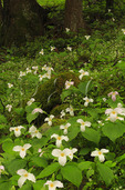 Large Flowered Trillium Along Cove Hardwood Nature Trail, Chimneys Picnic Area, Great Smoky Mountains National Park, Tennessee, USA