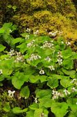 Sweet White Violet in Log, Little River Trail, , Great Smoky Mountains National Park, Tennessee, USA
