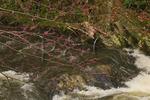 Redbud, Laurel Creek, Great Smoky Mountains National Park, Tennessee, USA