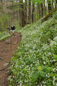 White Fringed Phacelia, Porters Creek Trail, Greenbrier Area, Great Smoky Mountains National Park, Tennessee, USA