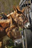 Team of Mules Plowing, Bud Whitten Plow Day, VDHMA,  Dillwyn, Virginia, USA