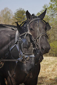 Percheron Horses, Bud Whitten Plow Day, VDHMA,  Dillwyn, Virginia, USA