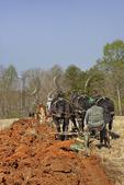 Mules and Percheron Horses Plowing, Bud Whitten Plow Day, VDHMA,  Dillwyn, Virginia, USA