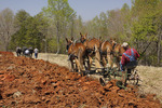Mules and Percheron Horses Plowing, Bud Whitten Plow Day, VDHMA,  Dillwyn, Virginia, USA