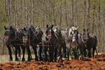 Team of Percheron Horses Plowing, Bud Whitten Plow Day, VDHMA,  Dillwyn, Virginia, USA