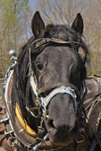 Percheron Horses, Bud Whitten Plow Day, VDHMA,  Dillwyn, Virginia, USA