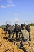 Team of Percheron Horses Plowing, Virginia Percheron Association Field Day,  Weyers Cave, Virginia, USA