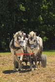Team of Percheron Horses Pulling a Wagon, Virginia Percheron Association Field Day,  Weyers Cave, Virginia, USA