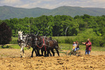 Team of Percheron Horses Plowing, Virginia Percheron Association Field Day,  Weyers Cave, Virginia, USA