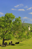 Cows Grazing near Briery Branch in the Shenandoah Valley of Virginia, USA