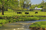 Cows Grazing near Ottobine in the Shenandoah Valley of Virginia, USA