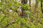 Scarlet Tanger, Fishers Gap, Shenandoah National Park, Virginia, usa