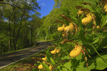 Yellow Lady Slippers along Skyline Drive, Shenandoah National Park, Virginia, USA