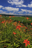 Day Lillies in Shenandoah Valley, Mount Solon, Virginia, USA