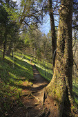 Appalachian Trail, South of Newfound Gap, Spring Beauty, Great Smoky Mountains National Park, Tennessee, USA