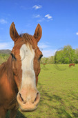 Horse Beside Sparks Lane, Cades Cove, Great Smoky Mountains National Park, Tennessee, USA