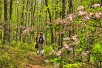 Pink Azalea along Appalachian Trail North of Sawmill Ridge, Shenandoah National Park, Virginia, USA