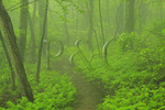 Ferns South of Pinefield Gap, Shenandoah National Park, Virginia, USA