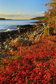 Poison Ivy at Sunrise, Schoodic Harbor, Schoodic Peninsula, Acadia National Park, Maine, USA