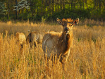 Elk, Elk and Bison Prairie, Land Between The Lakes National Recreation Area, Golden Pond, Kentucky, USA