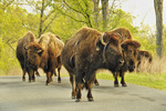 Bison, Elk and Bison Prairie, Land Between The Lakes National Recreation Area, Golden Pond, Kentucky, USA