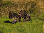 Wild Turkey, Elk and Bison Prairie, Land Between The Lakes National Recreation Area, Golden Pond, Kentucky, USA