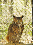Great Horned Owl, Woodlands Nature Station, Land Between The Lakes National Recreation Area, Grand Rivers, Kentucky, USA