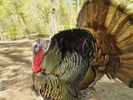 Wild Turkay, Woodlands Nature Station, Land Between The Lakes National Recreation Area, Grand Rivers, Kentucky, USA