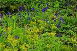 Golden Ragwort, Larkspur, Cedar Sink Trail, Cedar Sink, Mammoth Cave National Park, Park City, Kentucky, USA