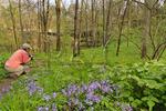 Phlox, Nodding Trillium, Cedar Sink Trail, Cedar Sink, Mammoth Cave National Park, Park City, Kentucky, USA
